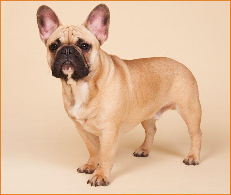 Cómo es un Bulldog Francés