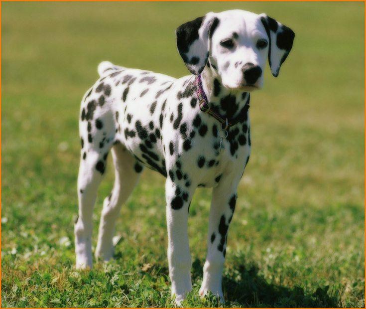 Cómo es el perro Dálmata