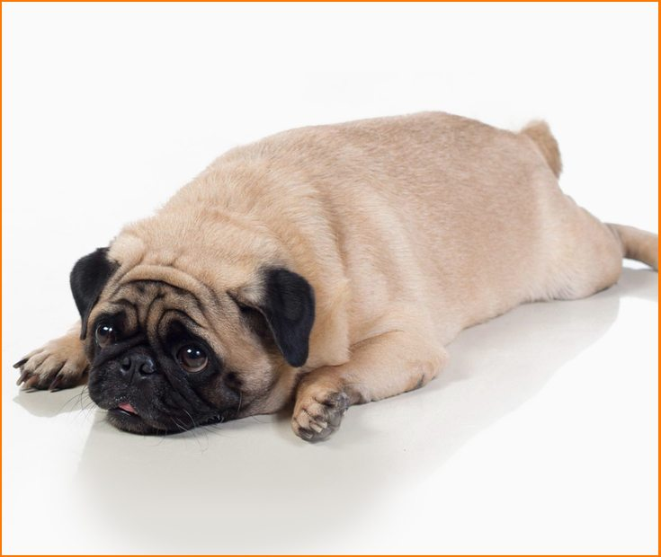 ¿Cómo hacer que mi perro adelgace?