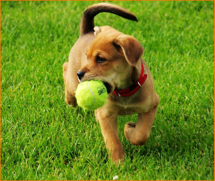 Cómo enseñar a mi perro a traer la pelota