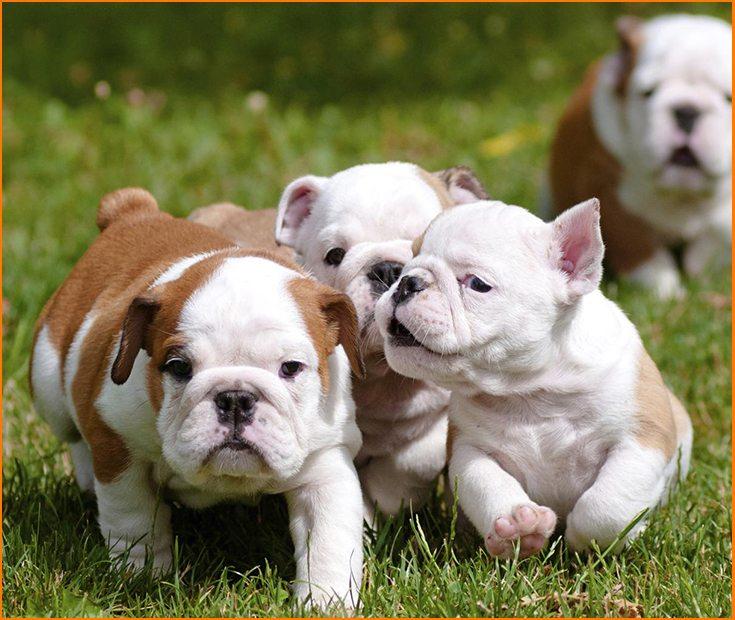 Cómo son los perros Bulldog Ingles