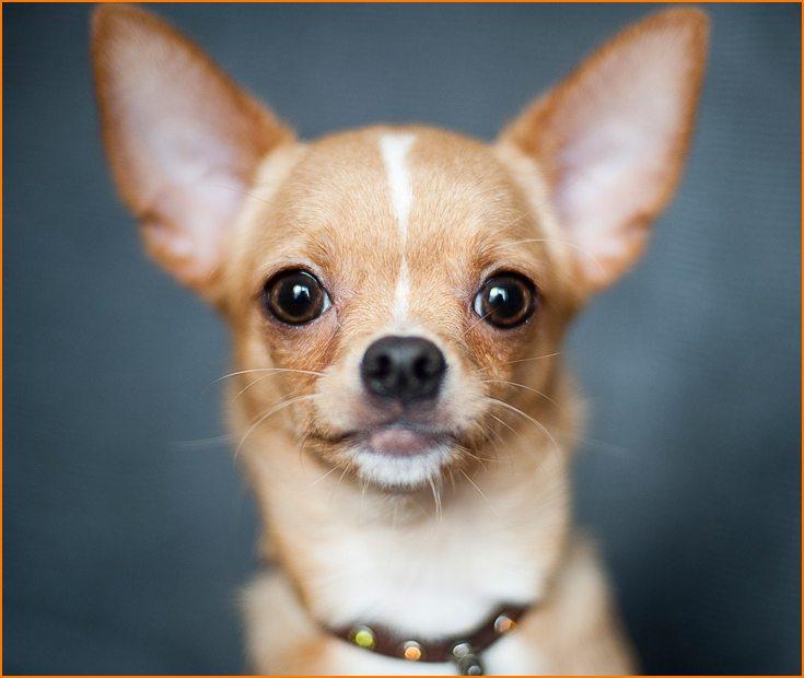 Como son los perros Chihuahua