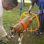 Terapias para perros con discapacidades físicas